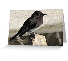 Black Phoebe ~ Tyrant Flycatcher Greeting Card