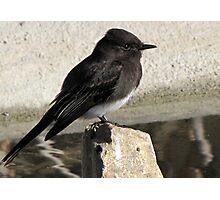 Black Phoebe ~ Tyrant Flycatcher Photographic Print