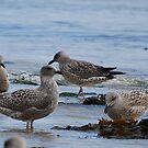 Seagulls by Sarah Fenn