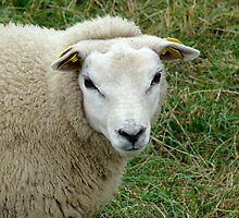 Texel sheep 2 by Kaleidoking