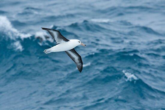 Black-browed Albatross, Drake Passage by Neville Jones