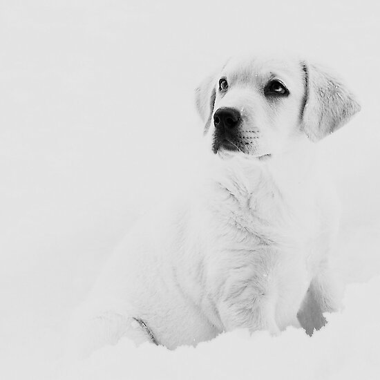 white lab puppy by 246pas