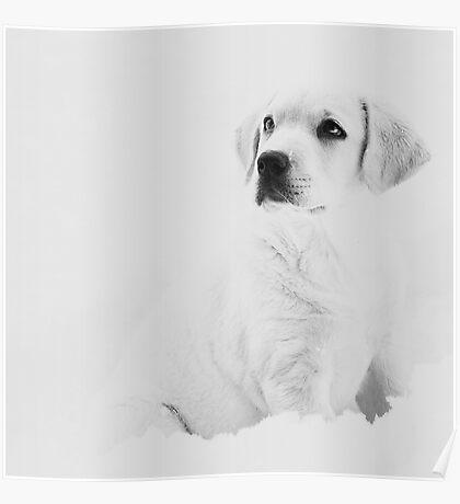 white lab puppy Poster