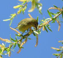 Orange-crowned Warbler by Kimberly Chadwick