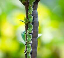 Bee Hawke Caterpillar by KellieJayne