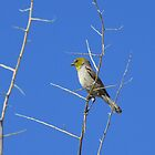 Verdin ~ Adult III by Kimberly P-Chadwick