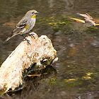 Yellow-rumped Warbler (Audubon's) by Kimberly P-Chadwick