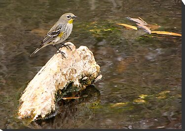 Yellow-rumped Warbler (Audubon&#x27;s) by Kimberly P-Chadwick