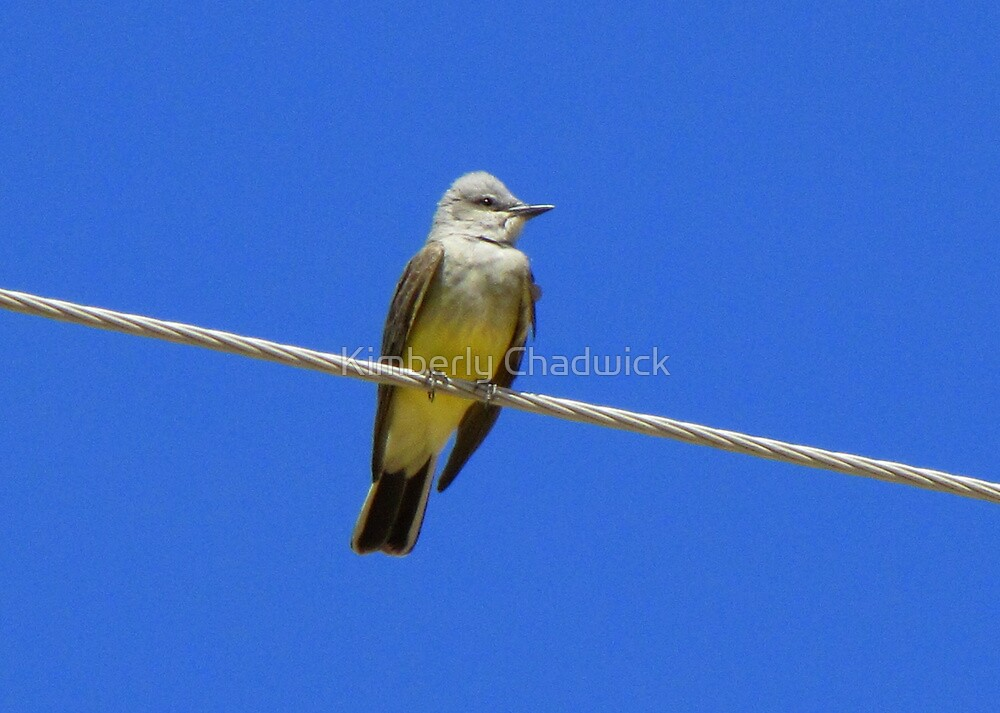 Western Kingbird ~ Adult by Kimberly Chadwick