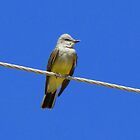 Western Kingbird ~ Adult by Kimberly P-Chadwick
