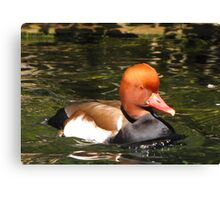 Red-crested Pochard ~ Male Canvas Print
