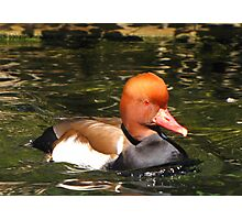 Red-crested Pochard ~ Male Photographic Print