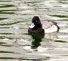 Lesser Scaup ~ Male by Kimberly Chadwick