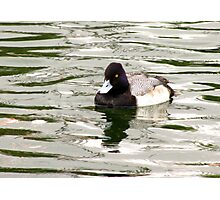 Lesser Scaup ~ Male Photographic Print