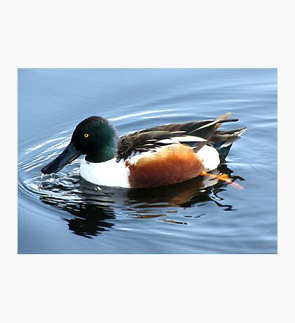 Northern Shoveler ~ Male Photographic Print