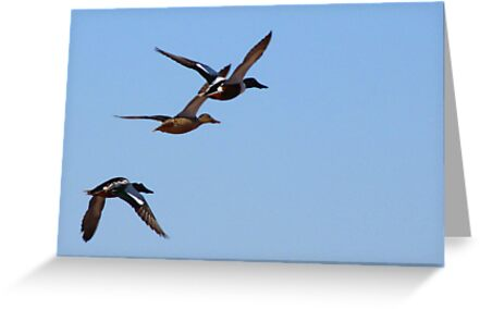 Northern Shovelers ~ In Flight by Kimberly Chadwick