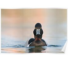 Ring-necked Duck (male). Poster