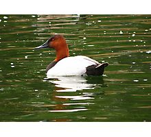 Canvasback ~ Male Photographic Print