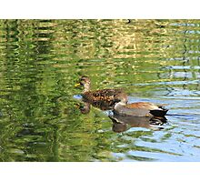Gadwall ~ Pair Photographic Print