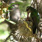 Broad-billed Hummingbird ~ Life Begins by Kimberly Chadwick