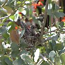 Costa's Hummingbird ~ Baby Flexing by Kimberly Chadwick