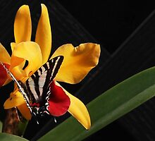 Zebra Swallowtail on Orchid by Linda  Makiej