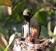 Costa's Humminbird & Babies 3-11-10 by Kimberly Chadwick