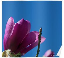 Skyward - Tulip Tree Bloom and Bud Poster