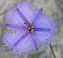 Rare Fringe Lily by Michael John