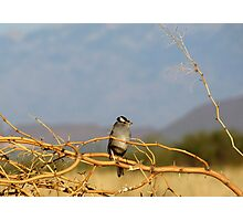 White-crowned Sparrow ~ Adult Photographic Print