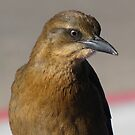 Great-tailed Grackle ~ Juvenille  by Kimberly P-Chadwick