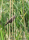 Red-winged Blackbird ~ Female by Kimberly Chadwick