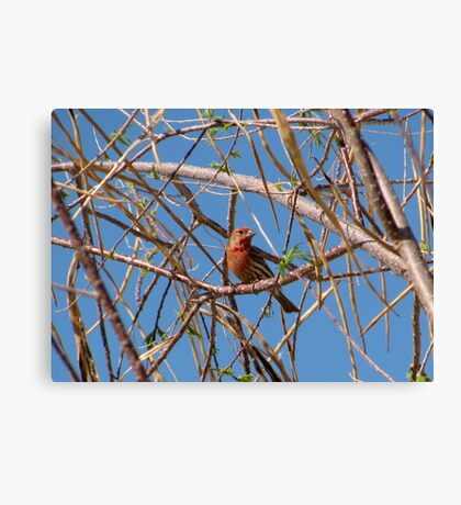 House Finch ~ Male Canvas Print