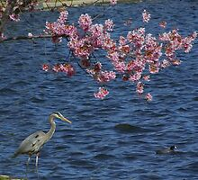 Grey Heron and Cherry Blossoms - Lake Balboa, CA by dirtfaery