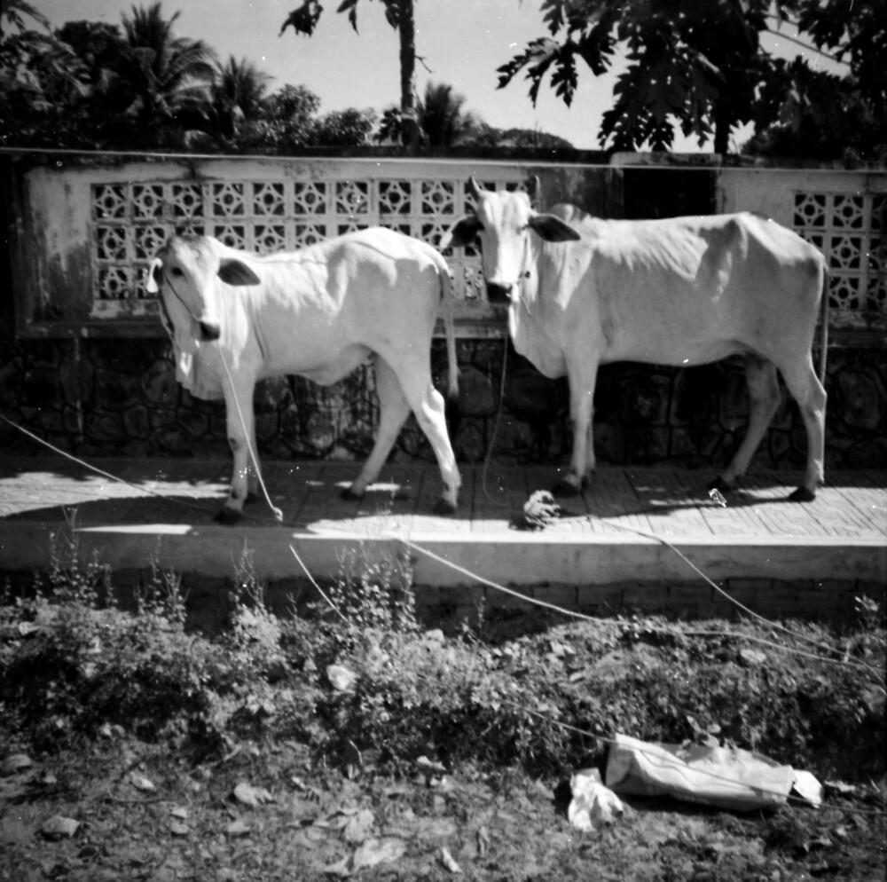 cows, kep, cambodia by tiro
