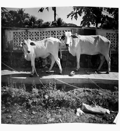 cows, kep, cambodia Poster