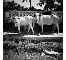 cows, kep, cambodia Photographic Print
