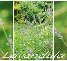 Lavendula.... by Carol Knudsen