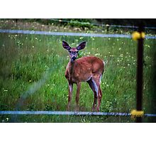 Young Buck (White Tailed Deer) Photographic Print