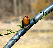 female cardinal by tomcat2170