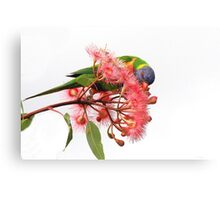 Rainbow Lorikeet -3342 (Trichoglossus haematodus) Canvas Print