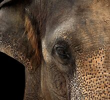 Asian Elephant Close-up by Mark Hughes