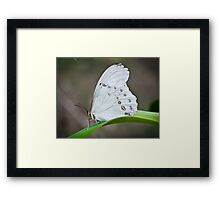 White Morpho Framed Print