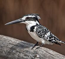 Female pied Kingfisher by Shaun Whiteman