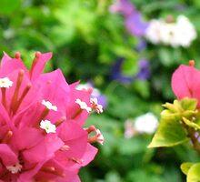 Bougainvillea In A Caribbean Garden by Lorna81