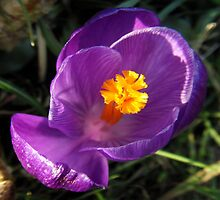 The Colour of Crocus by sarnia2