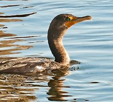 Double-crested Cormorant - Idaho by Forrest  Ray