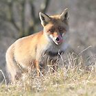 Red Fox - 2479 by DutchLumix