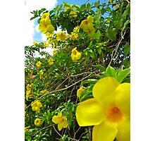 Allamanda Hedge - Grenada, Caribbean Photographic Print