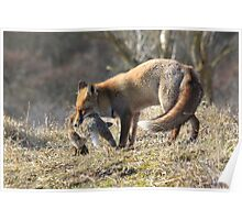 Red Fox with prey Poster